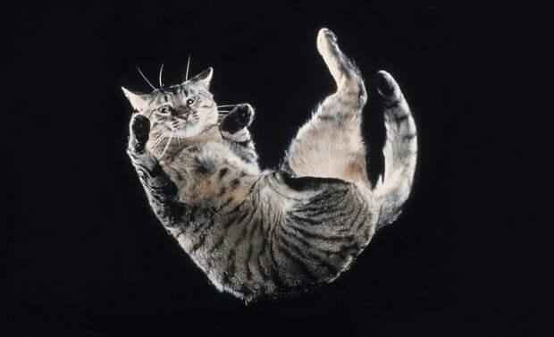 Почему кошки всегда приземляются на лапы, даже если падают вниз головой