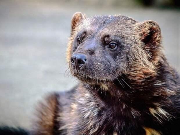 В Красносельском районе Петербурга заметили куницу, убегающую от ворон