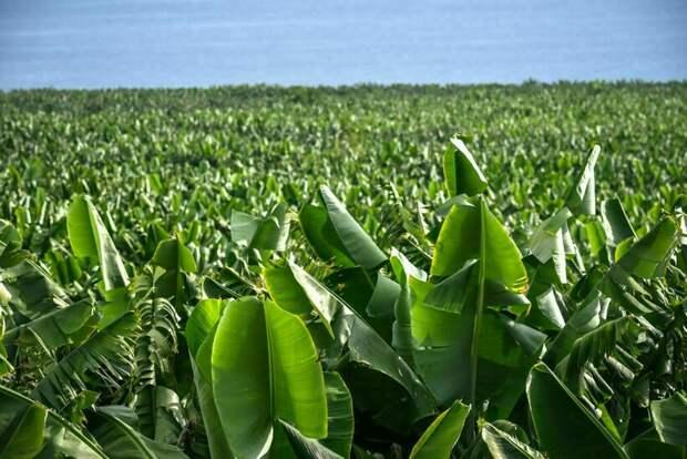 Как Калифорнию хотят защитить от пожаров бананами