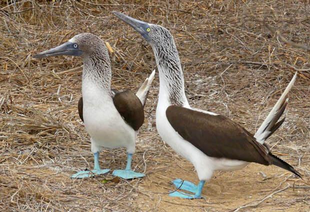 Животные Южной Америки: голубоногая олуша