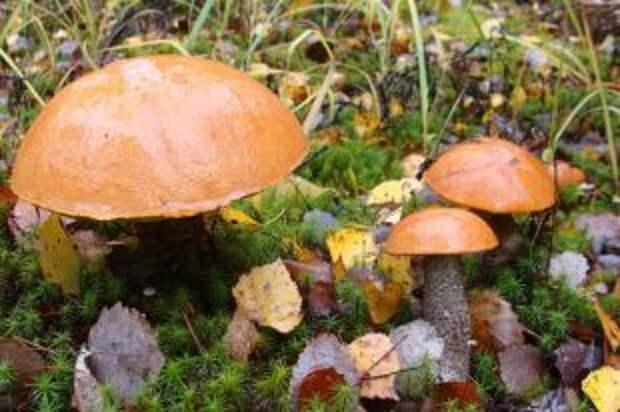 Насколько опасны червивые грибы?