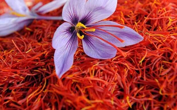 Луковицы растения очень стойкие и живучие, даже без земли цветы крокуса могут распускаться / Фото: semeyniy-ochag.com