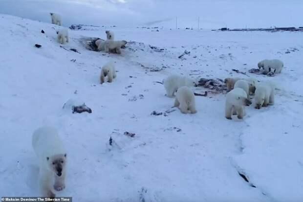56 голодных белых медведей окружили село на Чукотке