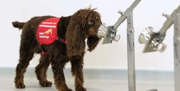Собаки-ищейки обнаруживают коронавирус лучше, чем экспресс-тесты
