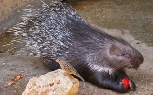 Особенности питания дикобраза фото