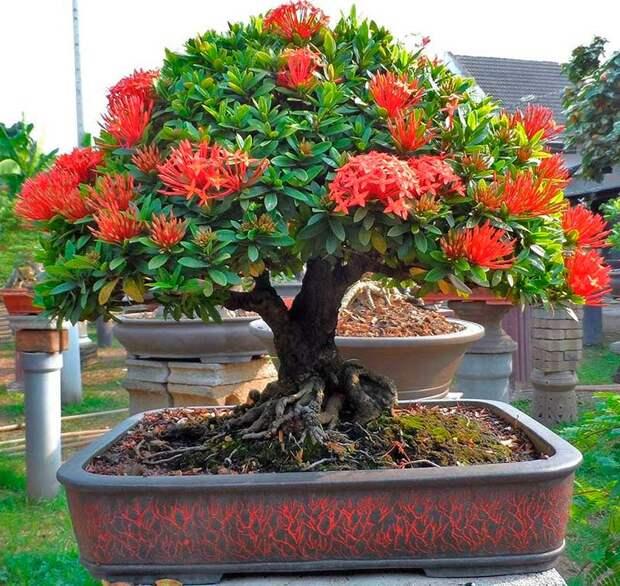 Комнатное растение Иксора (Ixora)