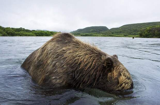 Охота бурых медведей на лосось на Дальнем Востоке России