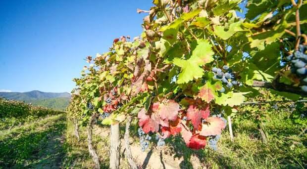 Гаумарджос, квеври: зачем в Грузии закапывают вино в землю