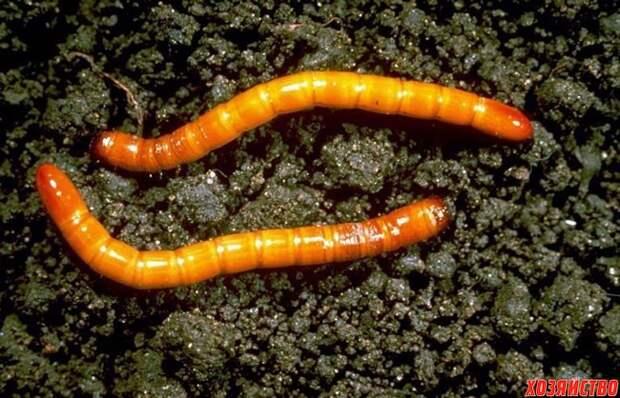 Опасные насекомые в грунте для рассады