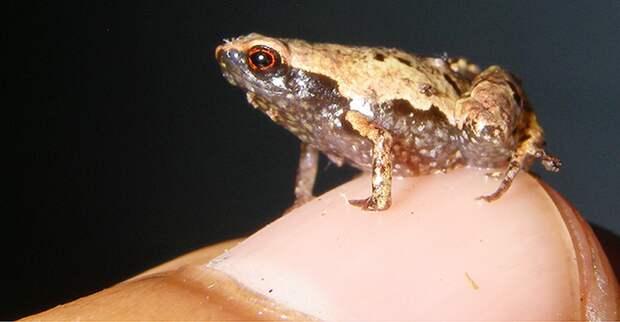 Лягушки меньше человеческого ногтя — новое открытие в животном мире Мадагаскара
