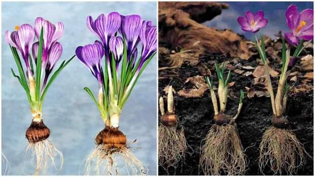 Небольшие луковицы крокуса следует высаживать в грунт на глубину до 8 см / Фото: genius.com
