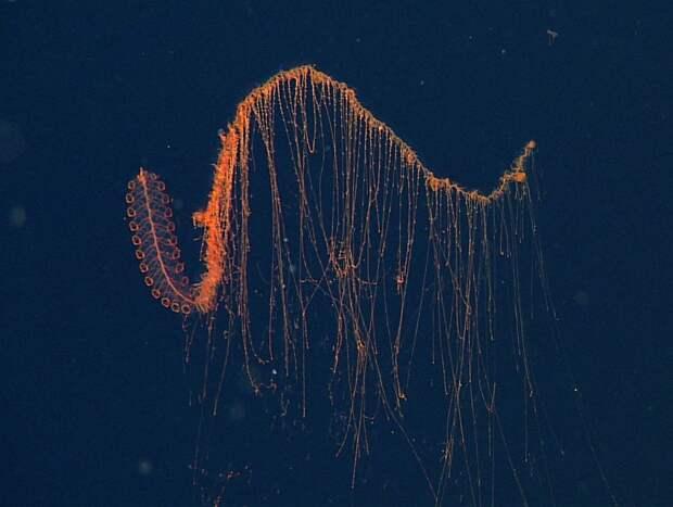 8 эпичных фото сифонофоры – подводной гирлянды