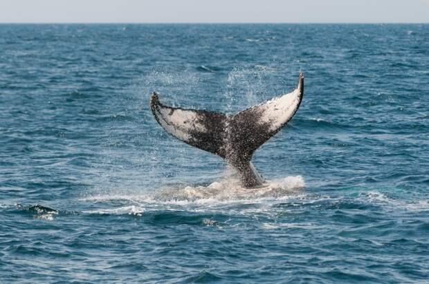 В Охотском море обнаружили новый вид китов