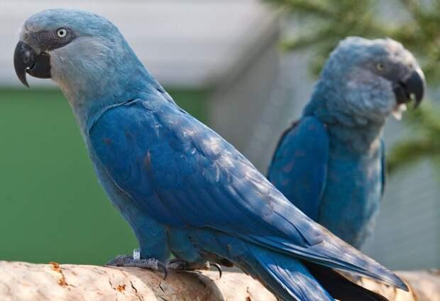Голубой ара. В дикой природе уже не существует