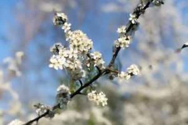 цветение тёрна