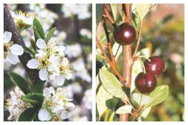 сорта вишни песчанойцветы и ягоды