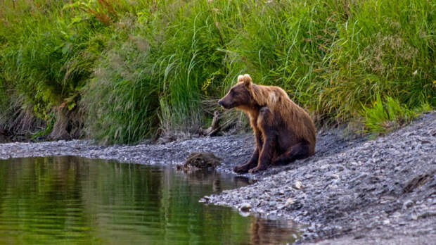 Кадьяк: Крупнейший подвид бурого медведя. Полтонны ярости и изоляция на далеком северном острове
