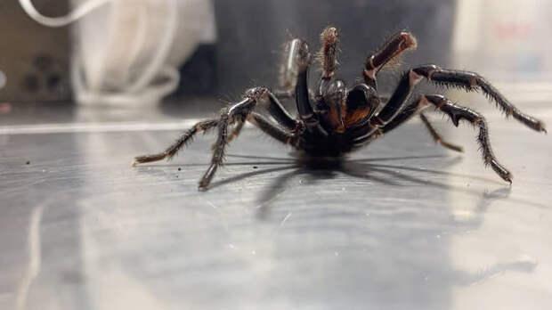 Из-за жары в Австралии начали появляться пауки-гиганты