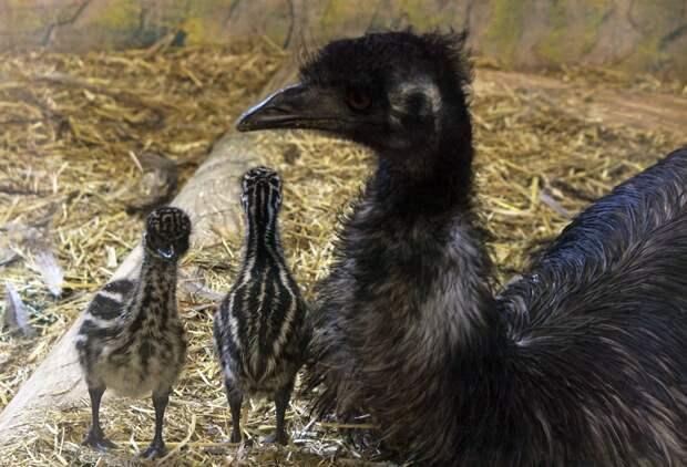 Фото дня: двойняшки-эму родились в зоопарке «Лимпопо»