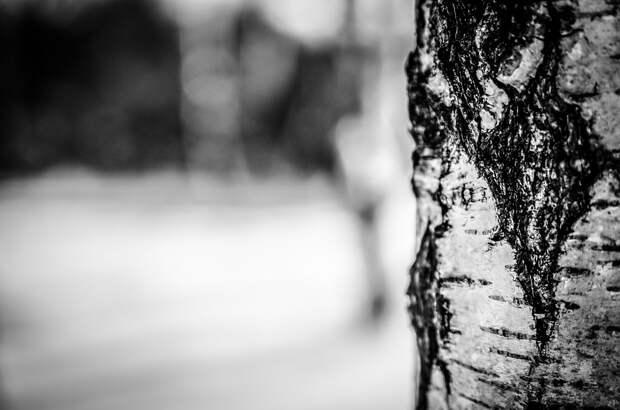 Дерево Березы, Кора, Дерево, Ствол, Ствол Дерева