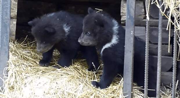 Медведица в омском зоопарке три месяца скрывала, что стала мамой тройни