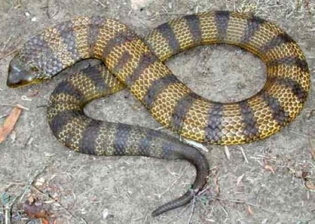 6. Тигровая Змея   змеи, самые ядовитые, топ, топ-10