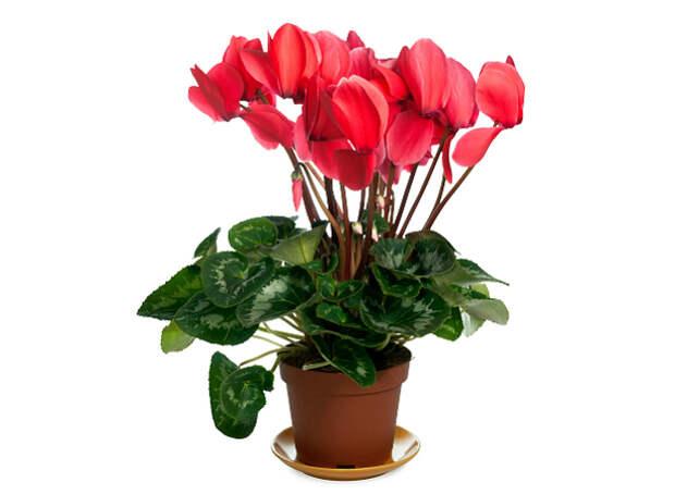 Ядовитые комнатные растения: 9 цветов, которые могут нанести вам вред