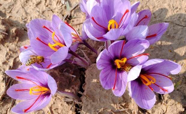 Крокус сативус - луковичное осеннецветущее растение / Фото: blog.safarme.com