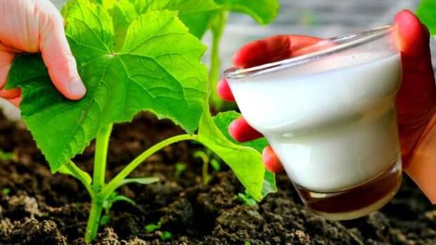 Эффективная подкормка молоком: огурцы будете раздавать всем соседям