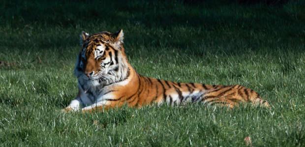 «Земля леопарда» показала следы тигра и самой маленькой кошки