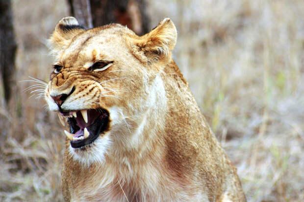 В ЮАР сняли пугающе рычащую львицу