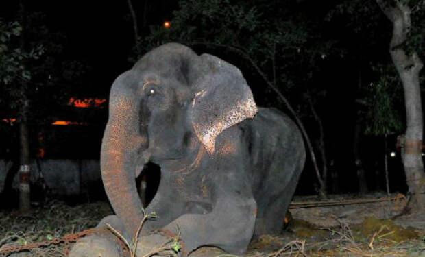 Слон заплакал когда его освободили после 50 лет неволи