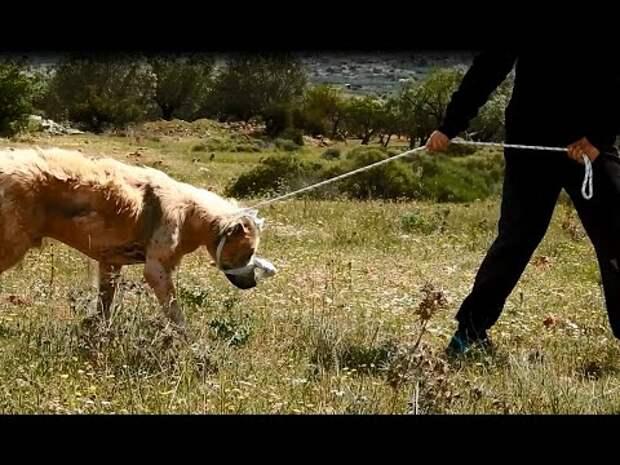 Больная собака-пастух резко стала никому не нужной… Но сейчас она ищет любящий дом!