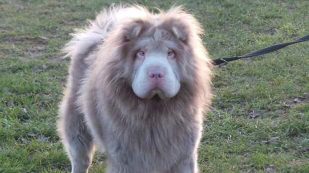 """По мнению многих, Мерфи похож на льва Аслана из фильма """"Хроники Нарнии"""" лев, шарпей"""