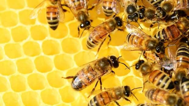 Нидерландские исследователи научили пчел выявлять коронавирус