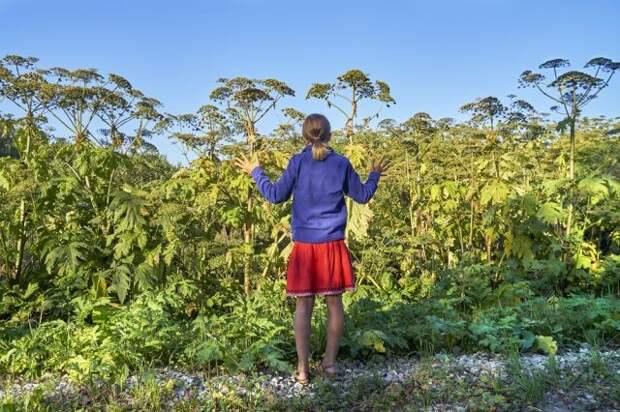Самый опасный сорняк. 7 ошибок в борьбе с борщевиком
