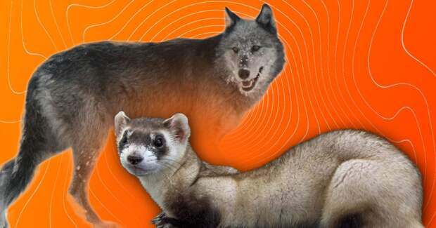 5 фактов о том, как ученые спасают вымирающие виды животных