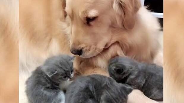 Ретривер знакомится с новорожденными котятами. Поразительная встреча!