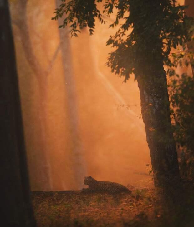 Дикая красота крупных кошек на снимках Шааза Джунга