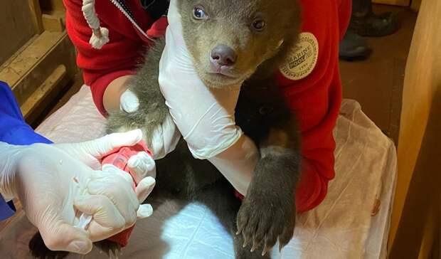Спасенные вКарелии медвежата идут напоправку