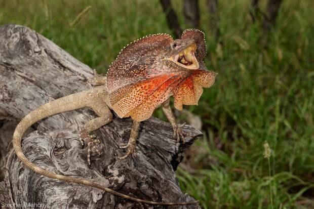 Плащеносная ящерица (лат. Chlamydosaurus kingii)