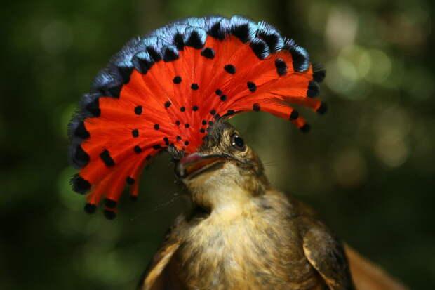 Знакомьтесь, венценосный мухоед