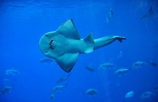 акулохвост