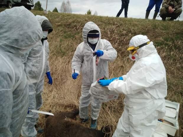 В Кизнерском районе Удмуртии нашли труп кабана с подозрением на АЧС