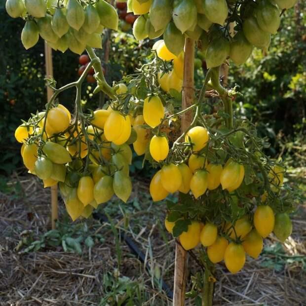 Томат черри, сорт «Сумасшедшие ягоды»