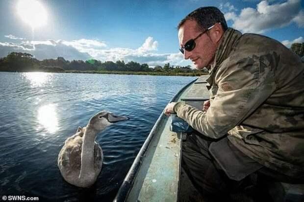 Мужчина спас и вырастил птенца лебедя, взрослая птица не захотела улетать от него