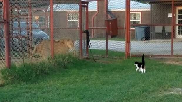 Храбрая домашняя кошка бросила вызов львице