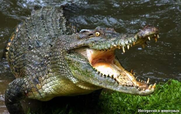 Просто крокодил