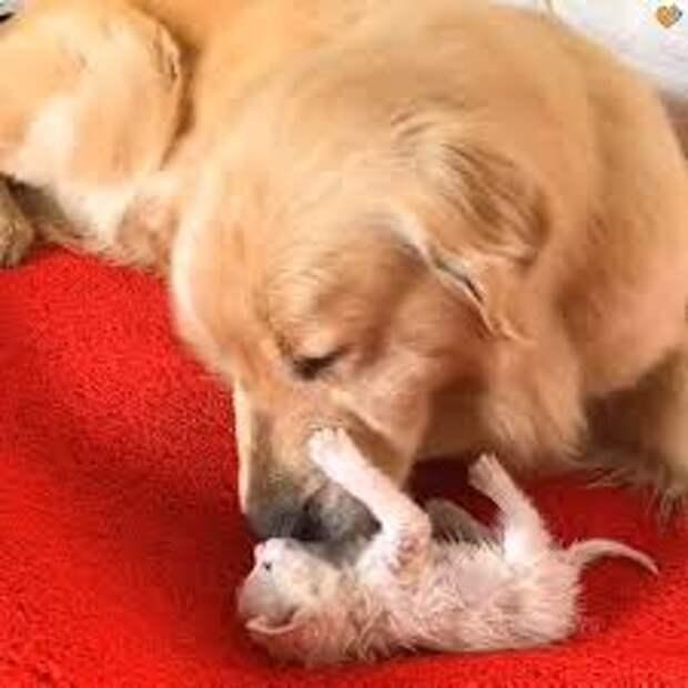 Золотистый ретривер спас маленького котенка, он притащил его домой и стал о нем заботиться