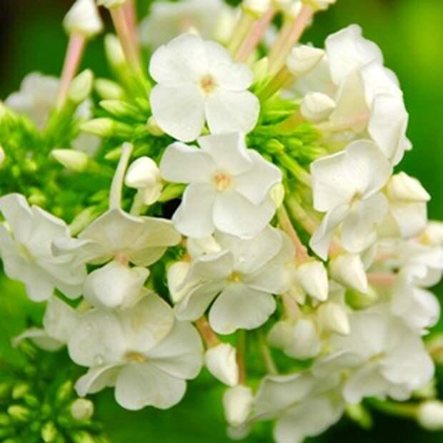 Белые цветы — фото. Садовые растения с белыми цветками.